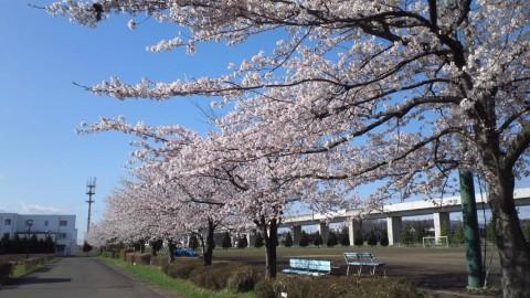 グラウンド脇の桜並木、満開です!