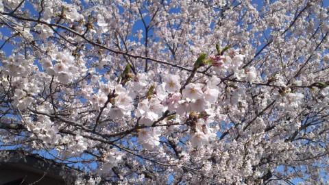青空に桜が映えますね