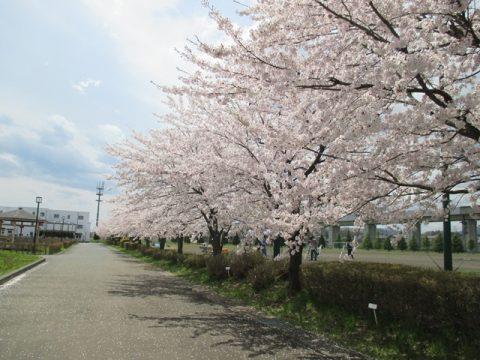 グラウンド脇桜01